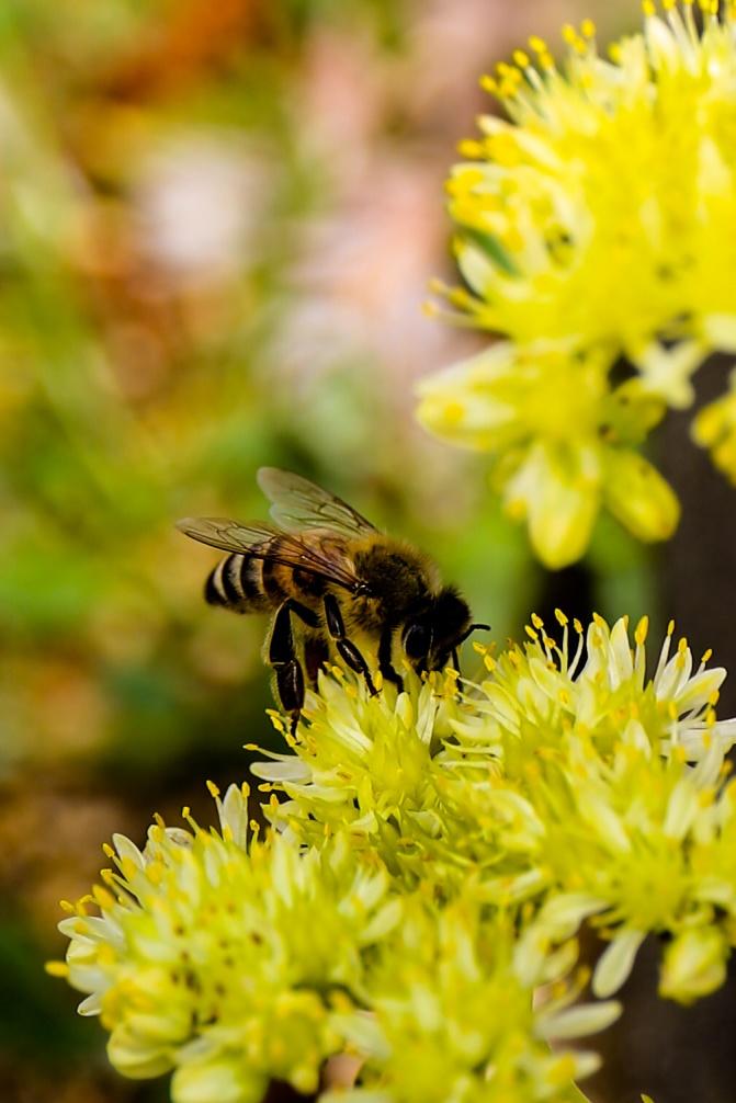 honeybee-france